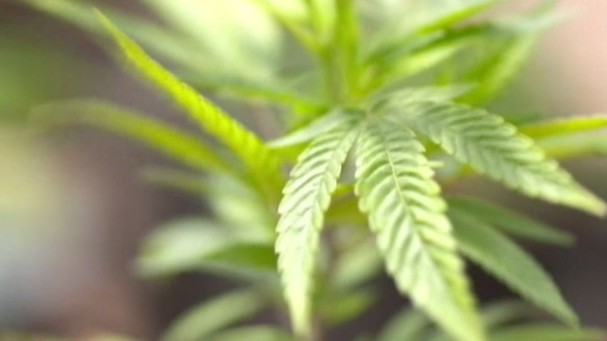 Incrementa consumo de marihuana en estudiantes