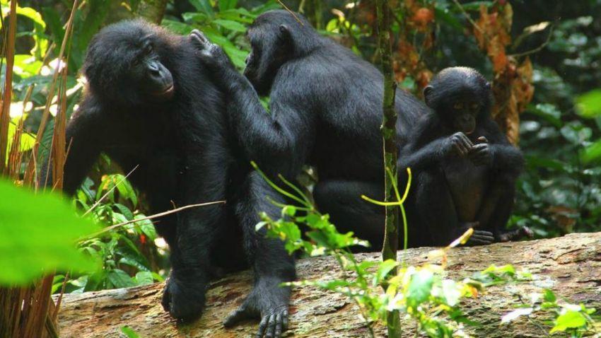TLMD-bonobo-project-zanna-zlay-lui-kotale-via-nbcnews
