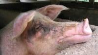 Cómo los cerdos se volvieron queridos protagonistas contra una amenaza global