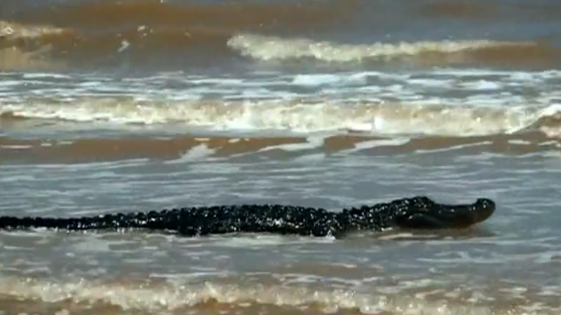caiman-playa-texas