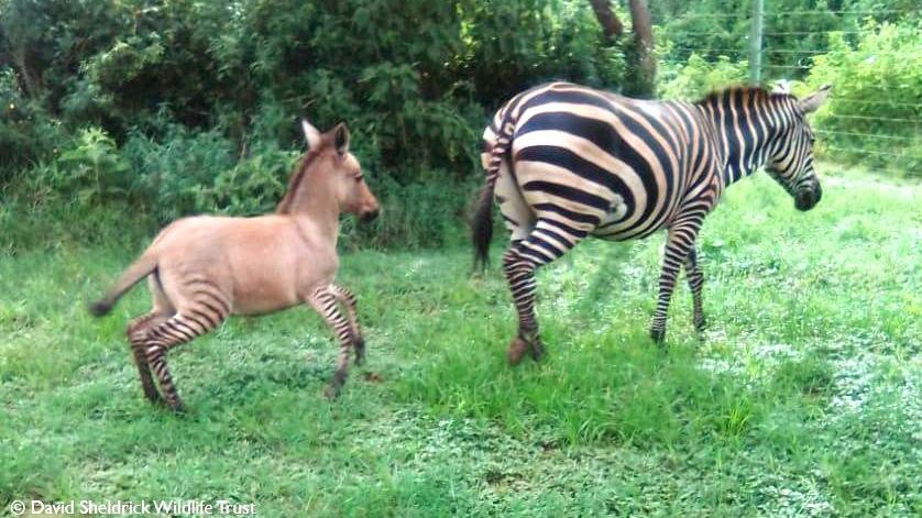 n bebé cría de una cebra y un burro, una mezcla atípica con el cuerpo grisáceo-rojizo y las patas rayadas