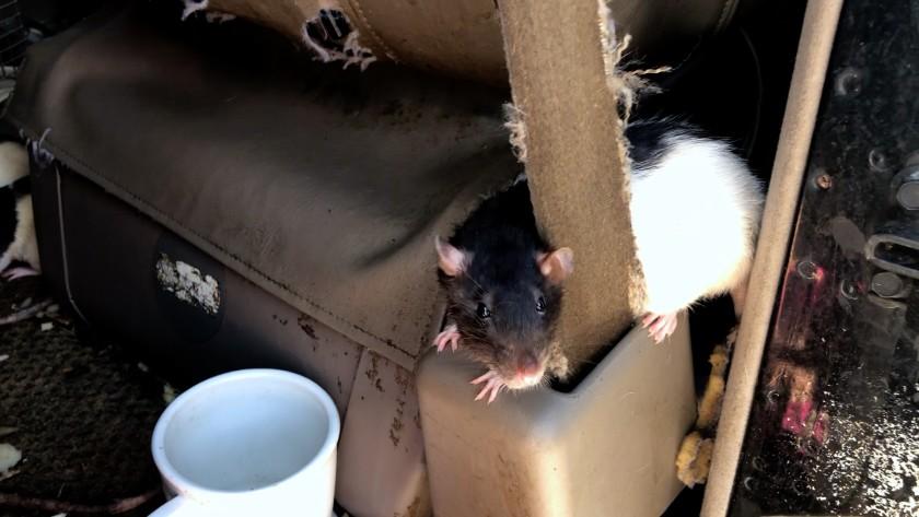 ratas-mascotas-dan-diego