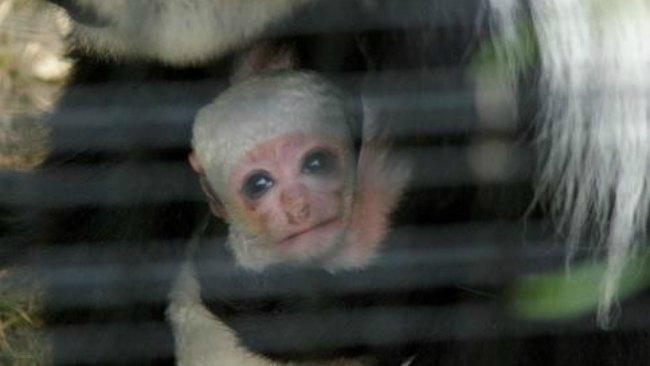tlmd_mono_colobo_colobus_monkey_stoneham_zoo