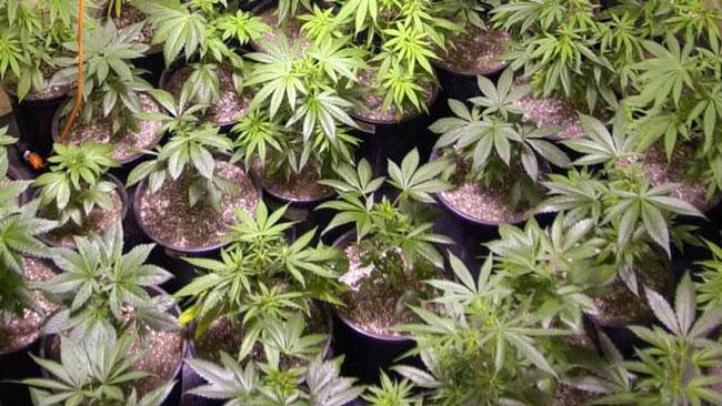tlmd_plantas_marihuana_san_bernardino