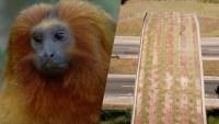 Brasil: construyen un puente sobre carretera para proteger a curiosos monos en peligro de extinción