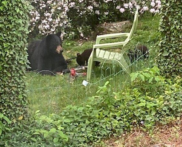 West Hartford Black Bear