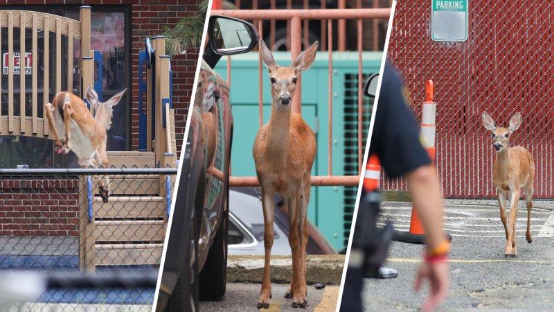 Ciervo lleva a la policía en una persecución en Boston