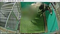 En video: ¿Por qué los científicos enseñaron a unas vacas a ir al baño y cómo lo lograron?